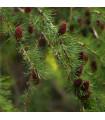 Smrekovec sibírsky - Larix sibirica - predaj semien - 10 ks