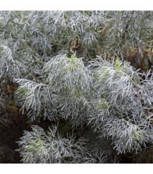 Palina pravá - Artemisia absinthum - semená - 0,02 g