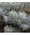 Palina pravá - Artemisia absinthum - semená paliny - 0,02 g