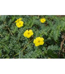 Kotvičník zemný - Tribulus terrestris - semená - semiačka - 7 ks