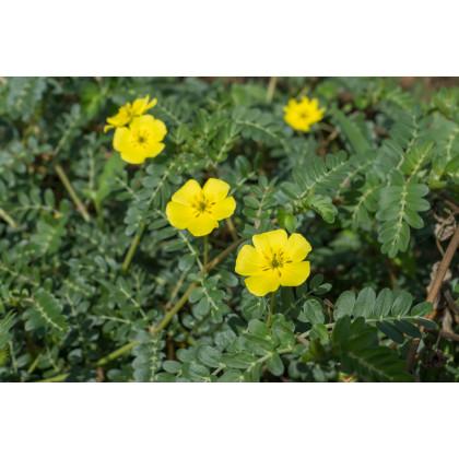 Kotvičník zemný - Tribulus terrestris - semená - 7 ks