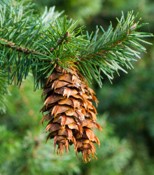 Duglaska tisolistá - Pseudotsuga menziesii - bonsaj - semená - 8 ks