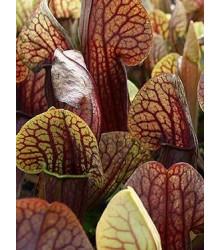 Špirlica krídlatá obrovská - Sarracenia alata giant - semená špirlice - semiačka - 12 ks