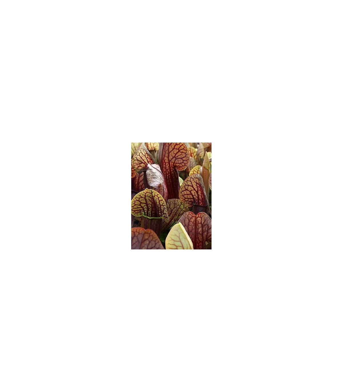 Saracénia krídlatá obrovská - Sarracenia alata giant - semená - 12 ks