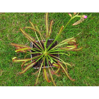 Rosnatka červená - Drosera capensis Giftberg - predaj semien - 15 ks