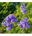 Žakaranda mimózolistá - Jacaranda mimosifolia -predaj semien - 6 ks