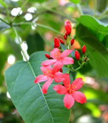 Jamajská čerešňa - Muntingia calabura - semená - 6 ks