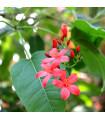 Jamajská čerešňa - Muntingia calabura - semená čerešne - 6 ks