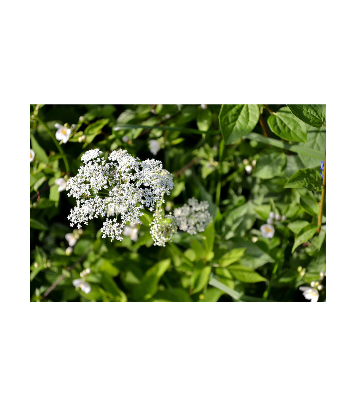 Bedrovník obyčajný - predaj semien bedrovníka - Pimpinella Saxifraga - 50 ks