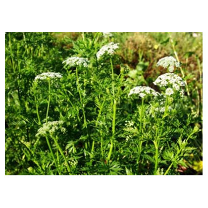 Jarva lekárska - Cnidium monnieri - semená - 20 ks
