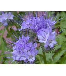 Facélia vratičolistá - Phacelia tanacetifolia - rastlina pre včely - semená - semiačka- 50 ks