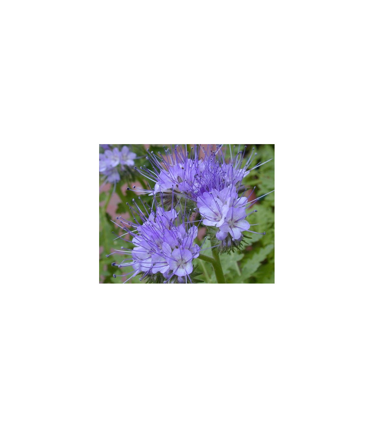 Facélia vratičolistá - Phacelia tanacetifolia - rastliny pre včely - semená facélie - 50 ks
