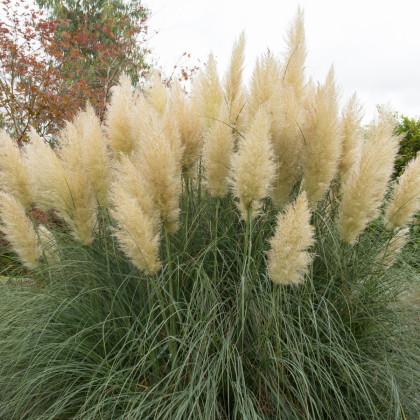 Pampová tráva strieborná - Cortaderia selloana - semená pampovej trávy - 10 ks