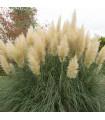 Kortadéria pampová - Cortaderia selloana - semená - 10ks