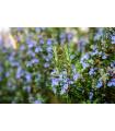 Rozmarín lekársky- Rosmarinus officinalis- semená Rozmarínu- 100 ks