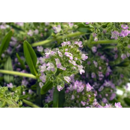 Saturejka záhradná- semená Saturejky záhradnej- 300ks