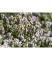 Tymian obecný - Thymus vulgaris - semená Tymianu obecného - 500 ks