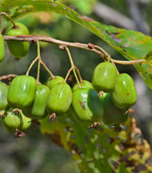 Minikiwi - Actinidia arguta - semená minikiwi - 5 ks