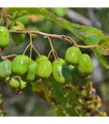 Minikiwi - Actinidia arguta - Koktejl kiwi - semená minikiwi - semiačka - 5 ks
