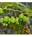 Minikiwi - rastlina Actinidia arguta - Koktejl kiwi - predaj semien minikiwi - 5 ks