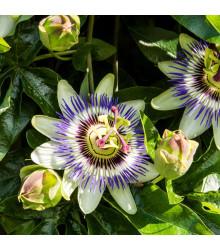 Mučenka modrá - Passiflora caerulea - semená mučenky - semiačka - 5 ks
