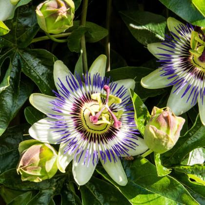 Mučenka modrá - Passiflora caerulea - semená mučenky - 5 ks