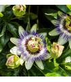 Mučenka modrá - Passiflora caerulea - predaj semien - 5 ks