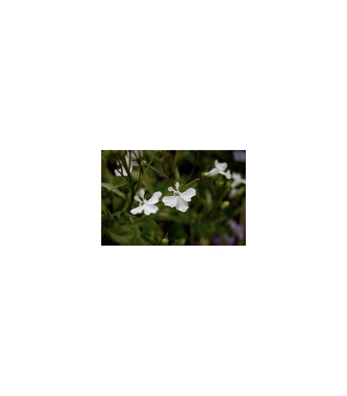 Lobelka drobná nízka- Lobelia erinus - semená lobelky - 400 ks