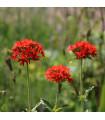 Kukučka hustokvetá - Lychnis chalcedonica - semená - 50 ks