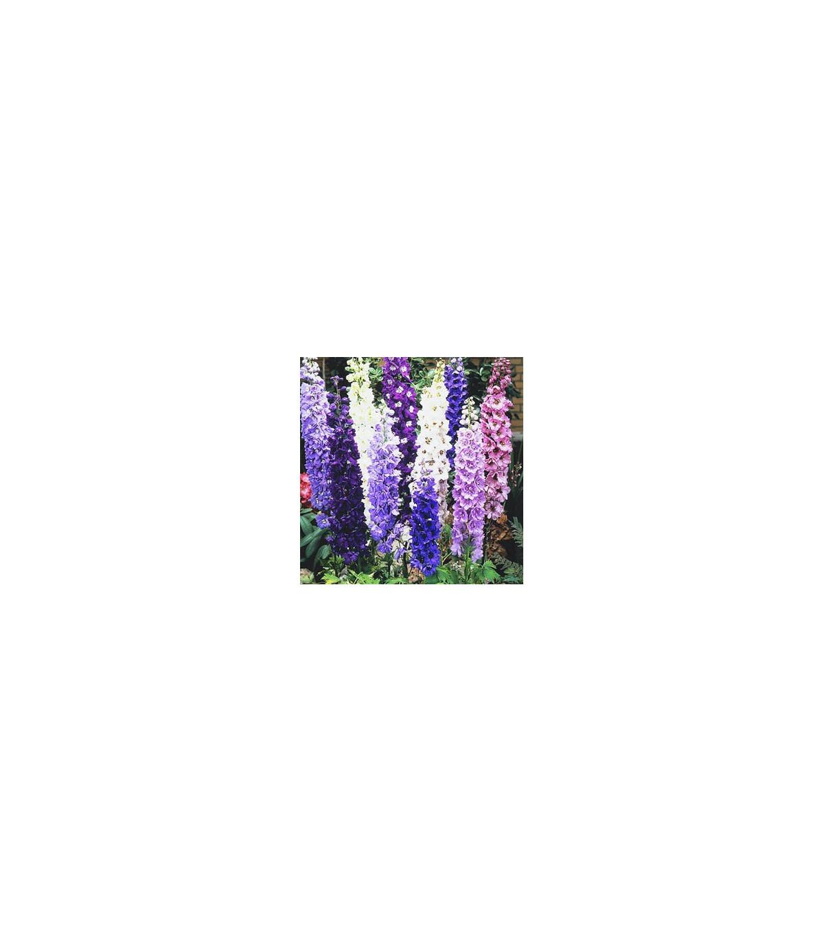 Ostrôžka - Delphinium cultorum - semená ostrôžky - 80 ks