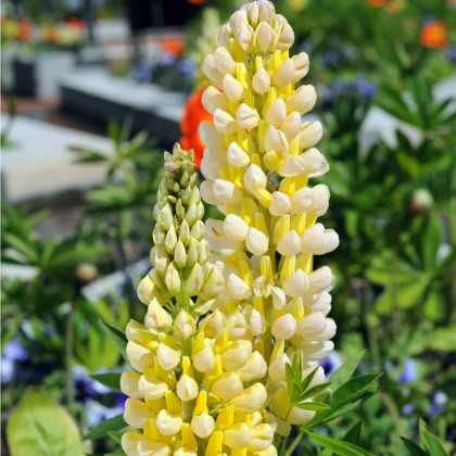 Vlčí bôb Kronleuchter - Lupina mnoholistá - Lupinus polyphyllus - semená - 40 ks