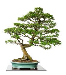 Brest čínsky - Ulmus parvifolia - bonsaj - semená - 10 ks