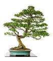 Brest čínsky - Ulmus parvifolia - predaj semien bonsajov - 5 ks