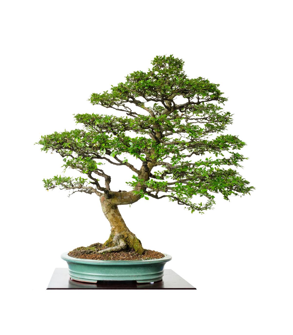Brest čínsky - Ulmus parvifolia - bonsaj - semená bresta - 10 ks