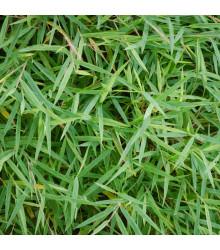 Bambus obrovský - Bambusa arundinacea - semená - 2 ks