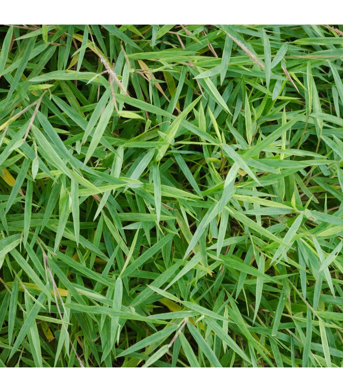 Bambus obrovský - semená - 2 ks