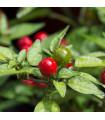 Chilli Tepin - predaj semien chilli papričiek - Capsicum tepin - 7 ks
