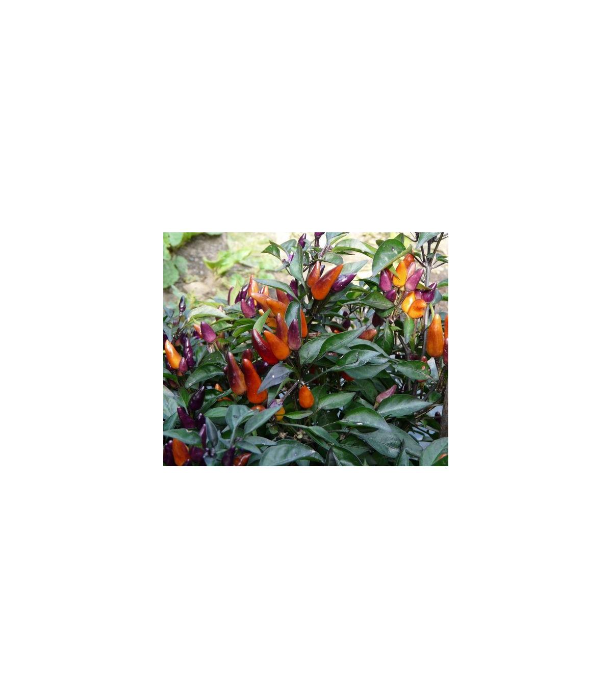 Chilli Ember - predaj chilli semienok - 6 ks