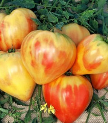 More about Paradajka ruská oranžová - semená paradajky - semiačka - 6 ks