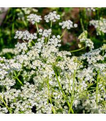 Rasca rímska - Cuminum cyminum - semená - 40 ks