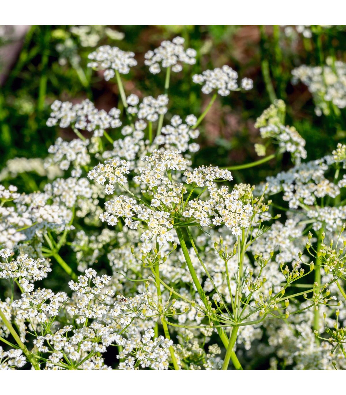 Rasca rímska - Cuminum cyminum - predaj semien rasce rímskej - 40 ks