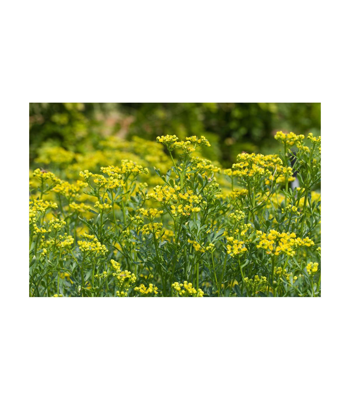 Ruta vonná - Ruta graveolens - predaj semien ruty - 10 ks