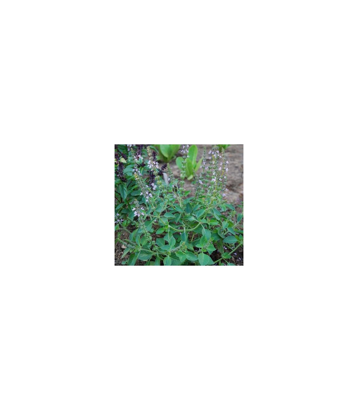 Bazalka pravá Spice - Ocimum basilicum Spice Basil - semená bazalky - 30 ks