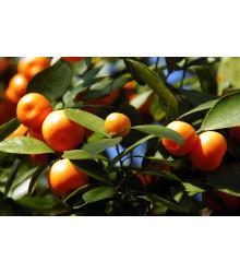 Pomarančovník zakrslý - Citrus mitis - semená pomarančovníka - semiačka - 3 ks