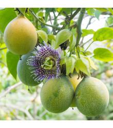 Mučenka pruhovaná sladká - Passiflora ligularis - semená mučenky - semiačka - 4 ks