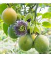 Mučenka pruhovaná sladká - Passiflora ligularis - predaj semien - 4 ks