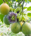 Mučenka pruhovaná sladká - Passiflora ligularis - semená mučenky - 4 ks