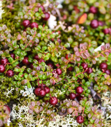 Americké brusnice - Kľukva veľkoplodá (Vaccinium macrocarpon) - Crannberry - semená brusnice - 10 ks