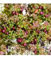 Americké brusnice - rastlina kľukva veľkoplodá - predaj semien brusníc - 10 ks