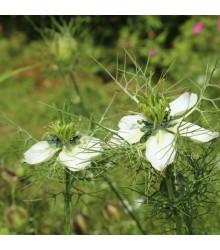 Černuška siata - Rasca čierna - Nigella sativa - semená - 25 ks